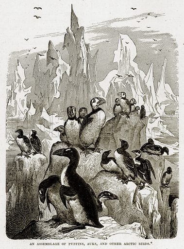 An Assemblage of Puffins, Auks, and Other Arctic Birds. Illustration from The Countries of the World by Robert Brown (Cassell, c 1890).
