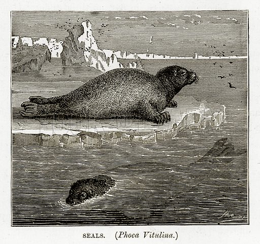 Seals. (Phoca Vitulina.) Illustration from The Countries of the World by Robert Brown (Cassell, c 1890).