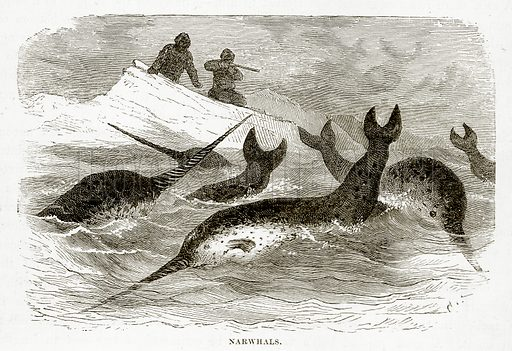 Narwhals. Illustration from The Countries of the World by Robert Brown (Cassell, c 1890).
