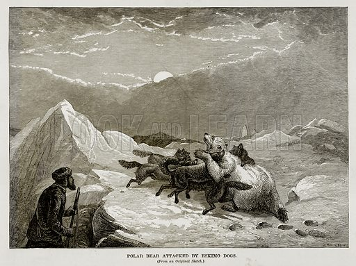 Polar Bear attacked by Eskimo Dogs. Illustration from The Countries of the World by Robert Brown (Cassell, c 1890).