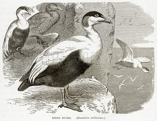 Eider Ducks. (Somateria Mollissima.) Illustration from The Countries of the World by Robert Brown (Cassell, c 1890).