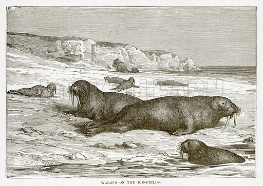 Walrus on the Ice-Fields. Illustration from The Countries of the World by Robert Brown (Cassell, c 1890).
