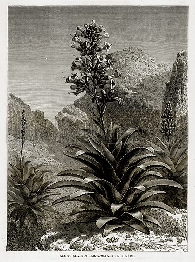 Aloes (Agave Americana) in Bloom. Illustration from The Countries of the World by Robert Brown (Cassell, c 1890).