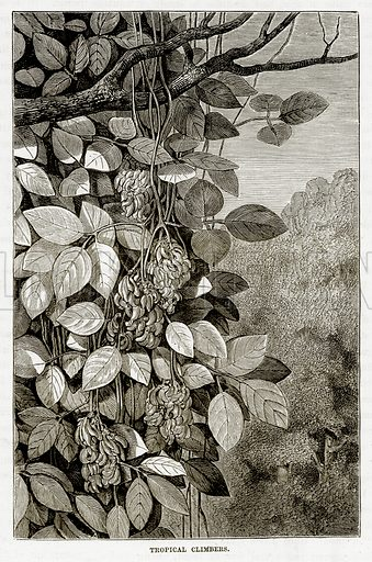 Tropical Climbers. Illustration from The Countries of the World by Robert Brown (Cassell, c 1890).