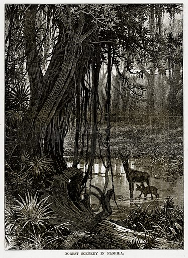 Forest Scenery in Florida. Illustration from The Countries of the World by Robert Brown (Cassell, c 1890).