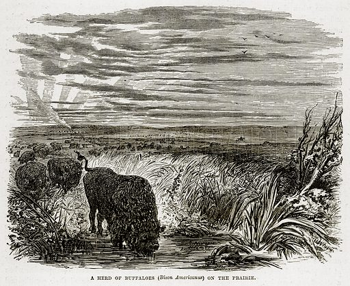 A Herd of Buffaloes (Bison Americanus) on the Prairie. Illustration from The Countries of the World by Robert Brown (Cassell, c 1890).