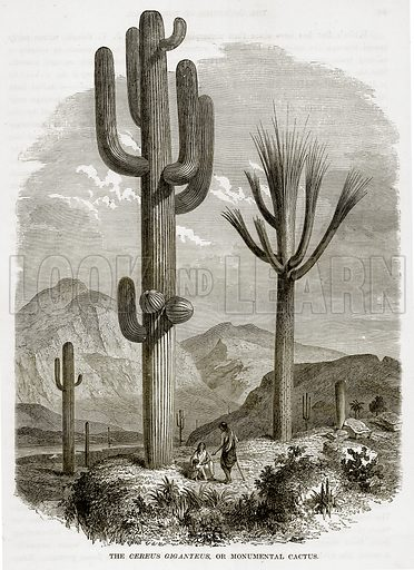 The Cereus Giganteus, or Monumental Cactus. Illustration from The Countries of the World by Robert Brown (Cassell, c 1890).