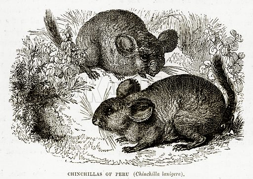 Chinchillas of Peru (Chinchilla Lanigera). Illustration from The Countries of the World by Robert Brown (Cassell, c 1890).