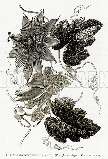The Passion-Flower of Peru (Passiflora Crispa. Var. Suaveolens). Illustration from The Countries of the World by Robert Brown (Cassell, c 1890).
