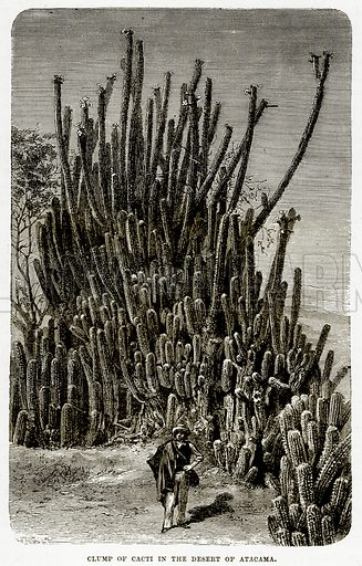 Clump of Cacti in the Desert of Atacama. Illustration from The Countries of the World by Robert Brown (Cassell, c 1890).