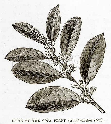 Sprig of the Coca Plant. (Erythroxylon Coca). Illustration from The Countries of the World by Robert Brown (Cassell, c 1890).
