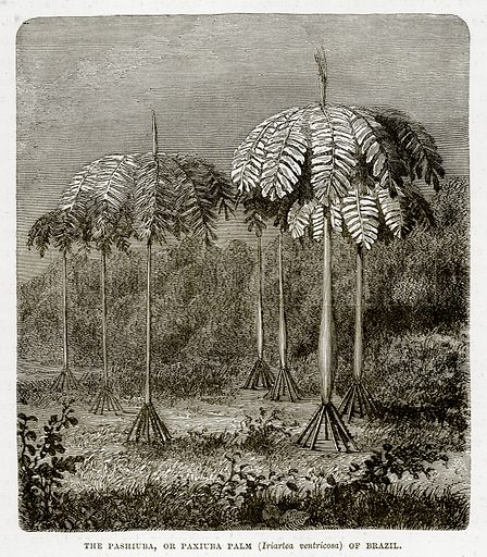 The Pashiuba, or Paxiuba Palm (Iriartea Ventricosa) of Brazil. Illustration from The Countries of the World by Robert Brown (Cassell, c 1890).