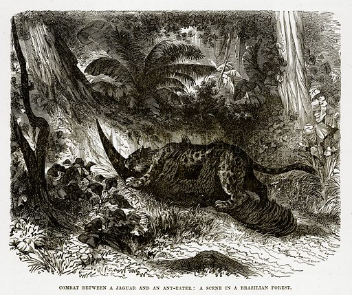 Combat between a Jaguar and an Ant-Eater: A scene in a Brazilian Forest. Illustration from The Countries of the World by Robert Brown (Cassell, c 1890).