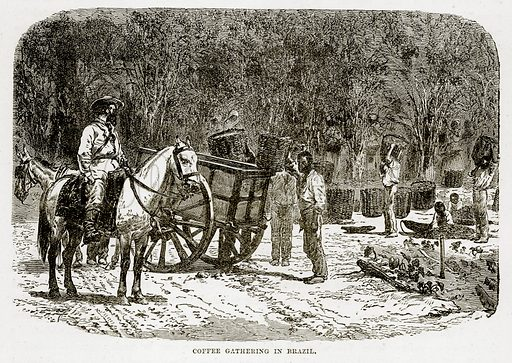 Coffee Gathering in Brazil. Illustration from The Countries of the World by Robert Brown (Cassell, c 1890).