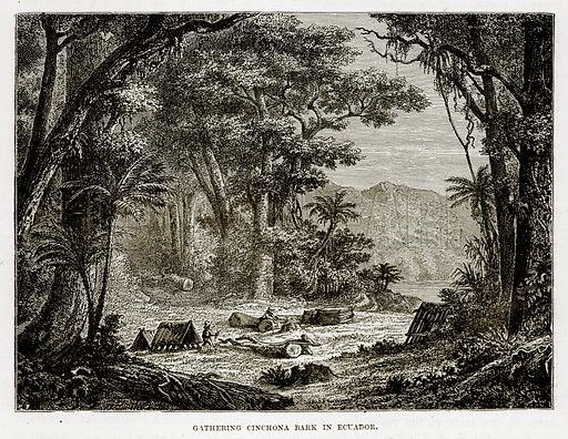 Gathering Cinchona Bark in Ecuador. Illustration from The Countries of the World by Robert Brown (Cassell, c 1890).