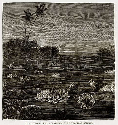 The Victoria Regia Water-Lily of Tropical America. Illustration from The Countries of the World by Robert Brown (Cassell, c 1890).