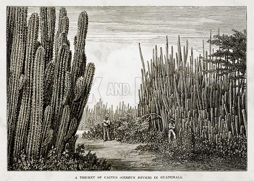 A Thicket of Cactus (Cereus Dyckii) in Guatemala. Illustration from The Countries of the World by Robert Brown (Cassell, c 1890).