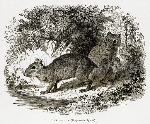 The Agouti (Dasyprocta Agouti). Illustration from The Countries of the World by Robert Brown (Cassell, c 1890).