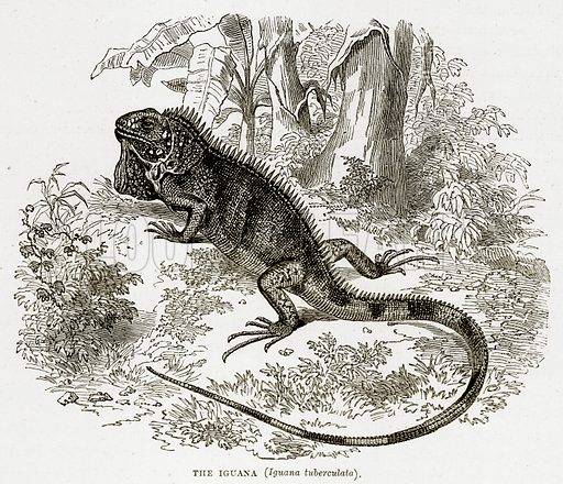 The Iguana (Iguana Tuberculata). Illustration from The Countries of the World by Robert Brown (Cassell, c 1890).