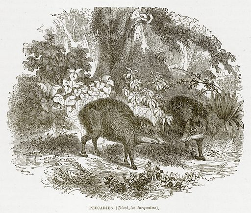 Preccaries (Dicotfles Torquatus). Illustration from The Countries of the World by Robert Brown (Cassell, c 1890).