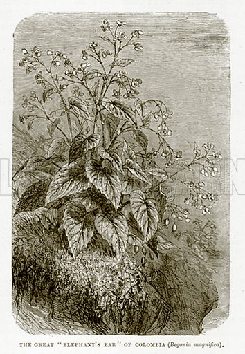 """The Great """"Elephant's Ear"""" of Colombia (Begonia Magnifica). Illustration from The Countries of the World by Robert Brown (Cassell, c 1890)."""