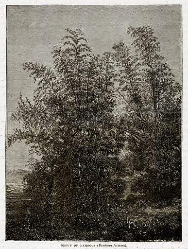 Group of Bamboos (Bambusa Formosa). Illustration from The Countries of the World by Robert Brown (Cassell, c 1890).