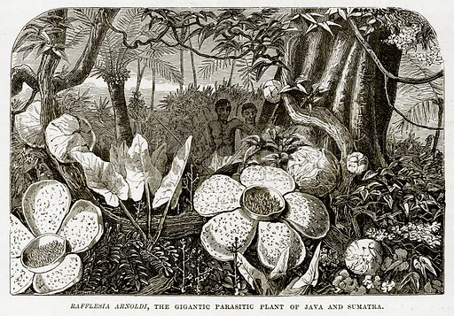 Rafflesia Arnoldi, the Gigantic Parasitic Plant of Java and Sumatra. Illustration from The Countries of the World by Robert Brown (Cassell, c 1890).
