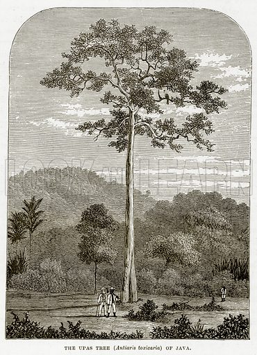 The Upas Tree (Antiaris Toxicaria) of Java. Illustration from The Countries of the World by Robert Brown (Cassell, c 1890).