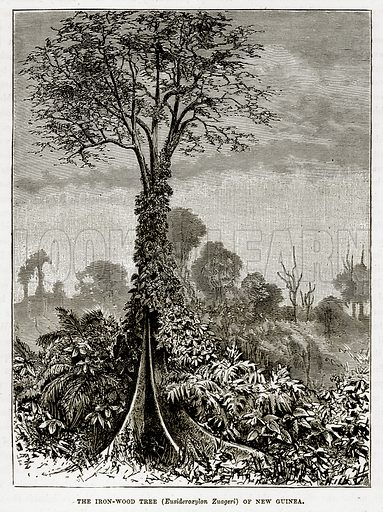 The Iron-Wood Tree (Eusideroxylon Zuageri) of New Guinea. Illustration from The Countries of the World by Robert Brown (Cassell, c 1890).