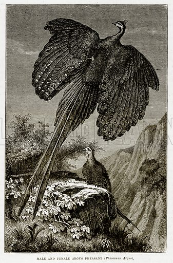 Male and Female Argus Pheasant (Phasianus Argus). Illustration from The Countries of the World by Robert Brown (Cassell, c 1890).