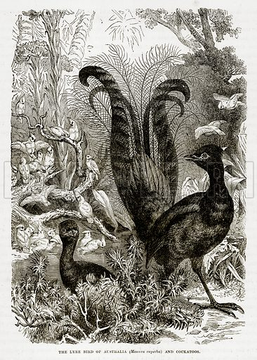 The Lyre Bird of Australia (Menura Superba) and Cockatoos. Illustration from The Countries of the World by Robert Brown (Cassell, c 1890).