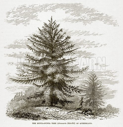 The Bunya-Bunya Tree (Araucaria Bidwillii) of Queensland. Illustration from The Countries of the World by Robert Brown (Cassell, c 1890).