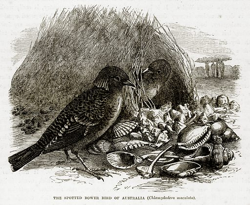 The Spotted Bower Bird of Australia (Chlamydodera Maculata). Illustration from The Countries of the World by Robert Brown (Cassell, c 1890).