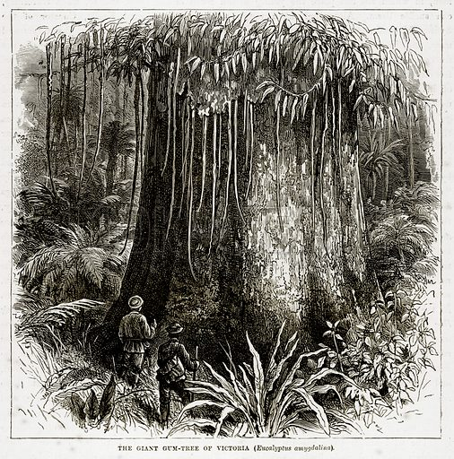 The Giant Gum-Tree of Victoria (Eucalyptus Amygdalina). Illustration from The Countries of the World by Robert Brown (Cassell, c 1890).