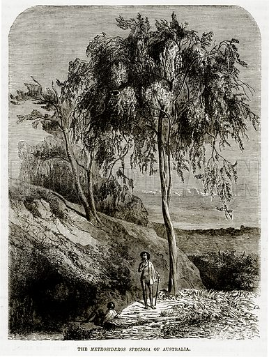 The Metrosideros Speciosa of Australia. Illustration from The Countries of the World by Robert Brown (Cassell, c 1890).