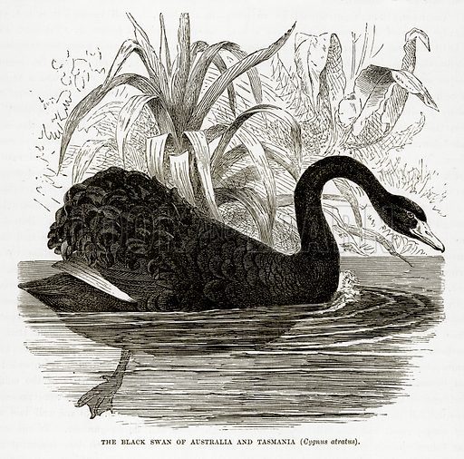 The Black Swan of Australia and Tasmania (Cygnus Atratus). Illustration from The Countries of the World by Robert Brown (Cassell, c 1890).