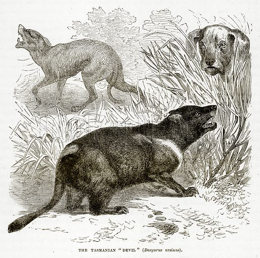 "The Tasmanian ""Devil"" (Dasyurus Ursinus). Illustration from The Countries of the World by Robert Brown (Cassell, c 1890)."