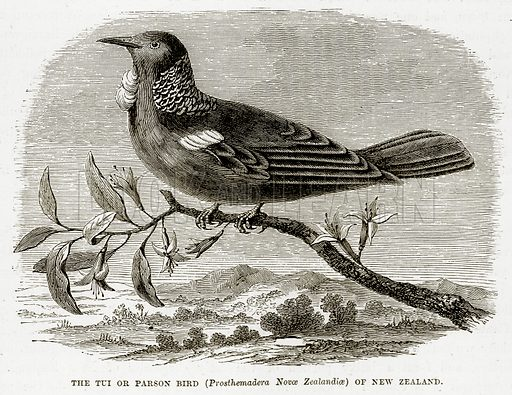 The Tui or Parson Bird (Prosthemadera Novoe Zealandioe) of New Zealand. Illustration from The Countries of the World by Robert Brown (Cassell, c 1890).