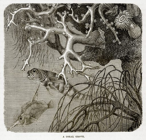 A Coral Grove. Illustration from The Countries of the World by Robert Brown (Cassell, c 1890).