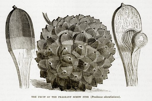 The Fruit of the Fragrant Screw Pine (Pandanus Odoratissimus). Illustration from The Countries of the World by Robert Brown (Cassell, c 1890).