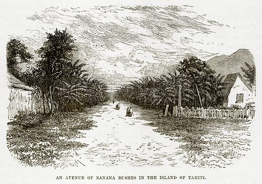 An Avenue of Banana Bushes in the Island of Tahiti. Illustration from The Countries of the World by Robert Brown (Cassell, c 1890).