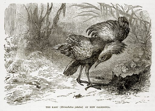 The Kagu (Rhinochetus Jubatus) of New Caledonia. Illustration from The Countries of the World by Robert Brown (Cassell, c 1890).