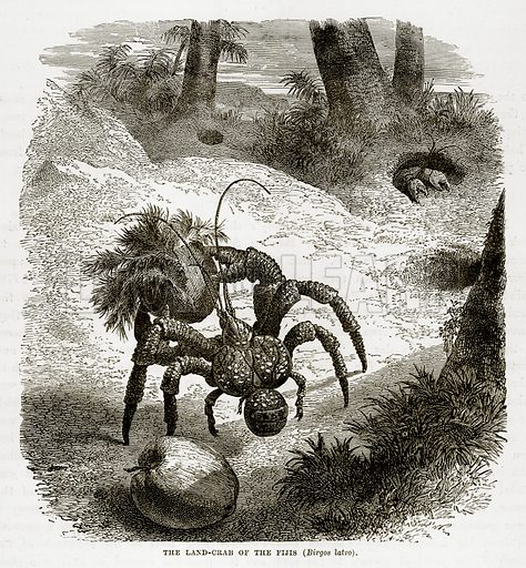 The Land-Crab of the Fijis (Birgos Latro). Illustration from The Countries of the World by Robert Brown (Cassell, c 1890).