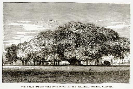 The Great Banyan Tree (Ficus Indica) in the Botanical Gardens, Calcutta. Illustration from The Countries of the World by Robert Brown (Cassell, c 1890).