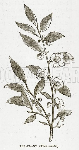 Tea-Plant (Thea Viridis). Illustration from The Countries of the World by Robert Brown (Cassell, c 1890).