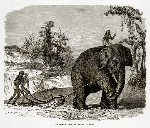 Elephant ploughing in Ceylon. Illustration from The Countries of the World by Robert Brown (Cassell, c 1890).