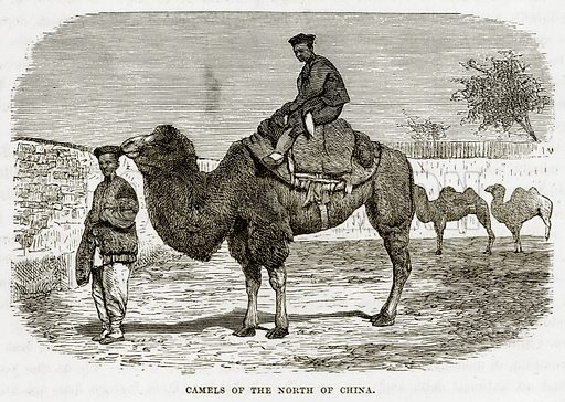 Camels of the North of China. Illustration from The Countries of the World by Robert Brown (Cassell, c 1890).