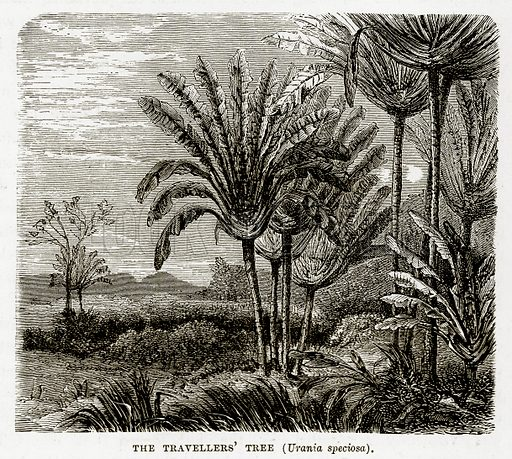 The Travellers' Tree (Urania Speciosa). Illustration from The Countries of the World by Robert Brown (Cassell, c 1890).