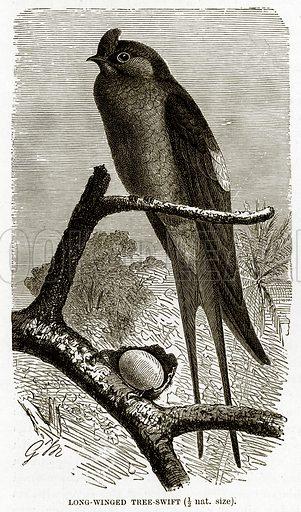 Long-Winged Tree-Swift. The Royal Natural History, ed Richard Lydekker (Frederick Warne, 1896).
