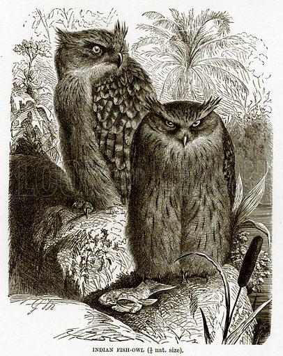 Indian Fish-Owl. The Royal Natural History, ed Richard Lydekker (Frederick Warne, 1896).